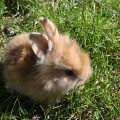 dwarf-rabbit-270000_640
